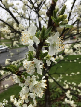 plum tree 2.JPG