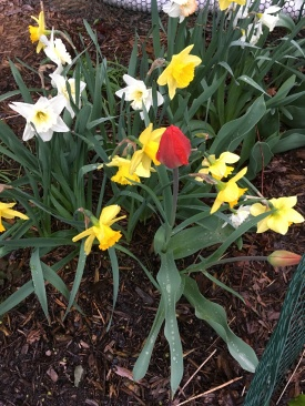 red tulip in daffodils.JPG
